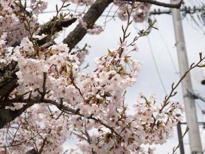 川棚温泉の桜